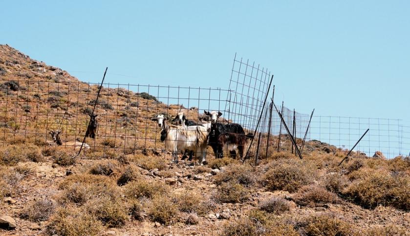 greece_goats_astypalaia