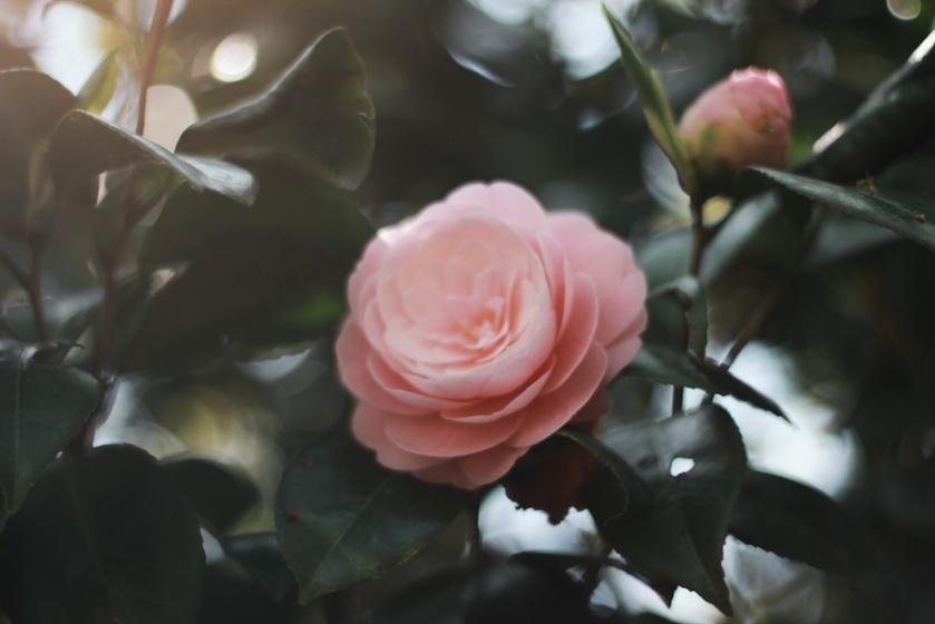 flower_pink_sunlight