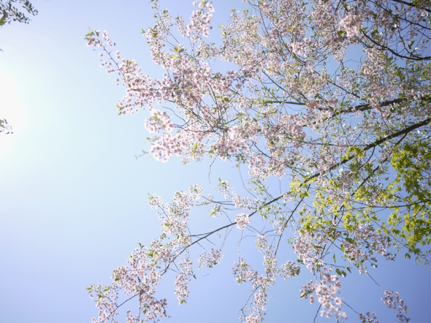 japan-kyoto-blossom-sakura