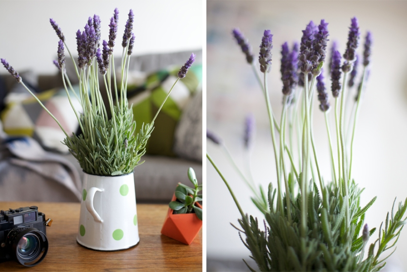 lavender | south by north