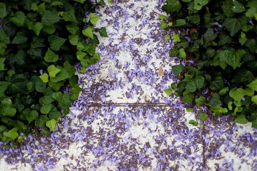 jacaranda flowers | south by north